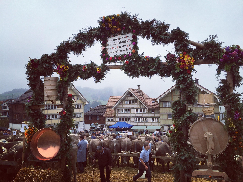 Tijdens de viehschau worden na de  de optocht van de koeien, de koeien gepoetst en beoordeeld.