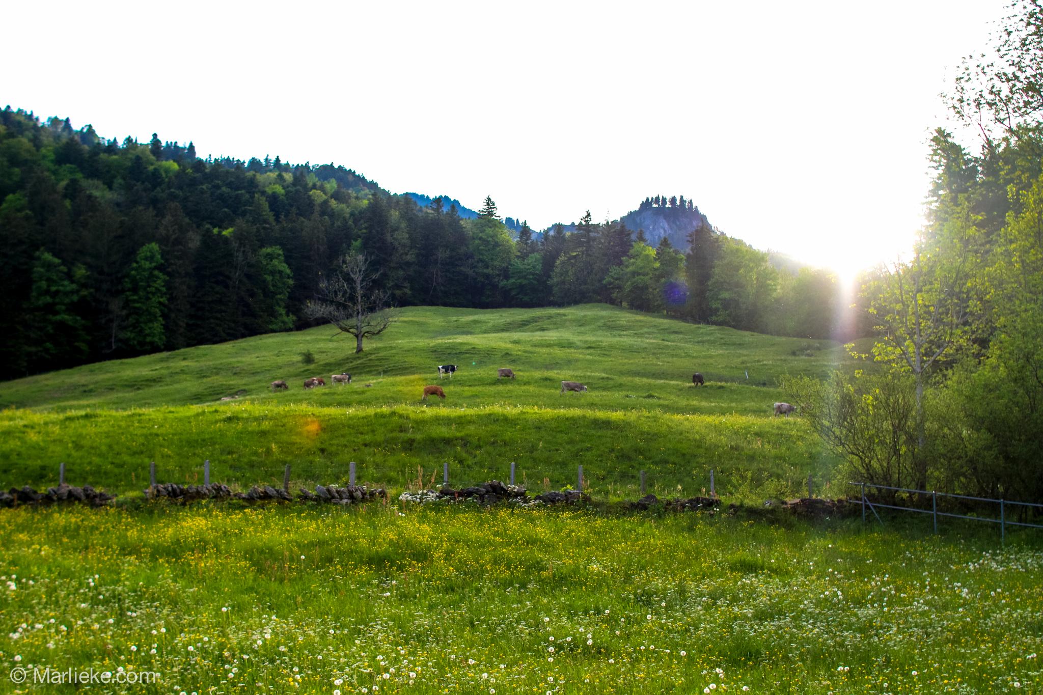 Oke, als eerste moesten we langs een weide met koeien. Ja, het minst leuke van Zwitserland, ik heb het namelijk niet zo op koeien.... :)