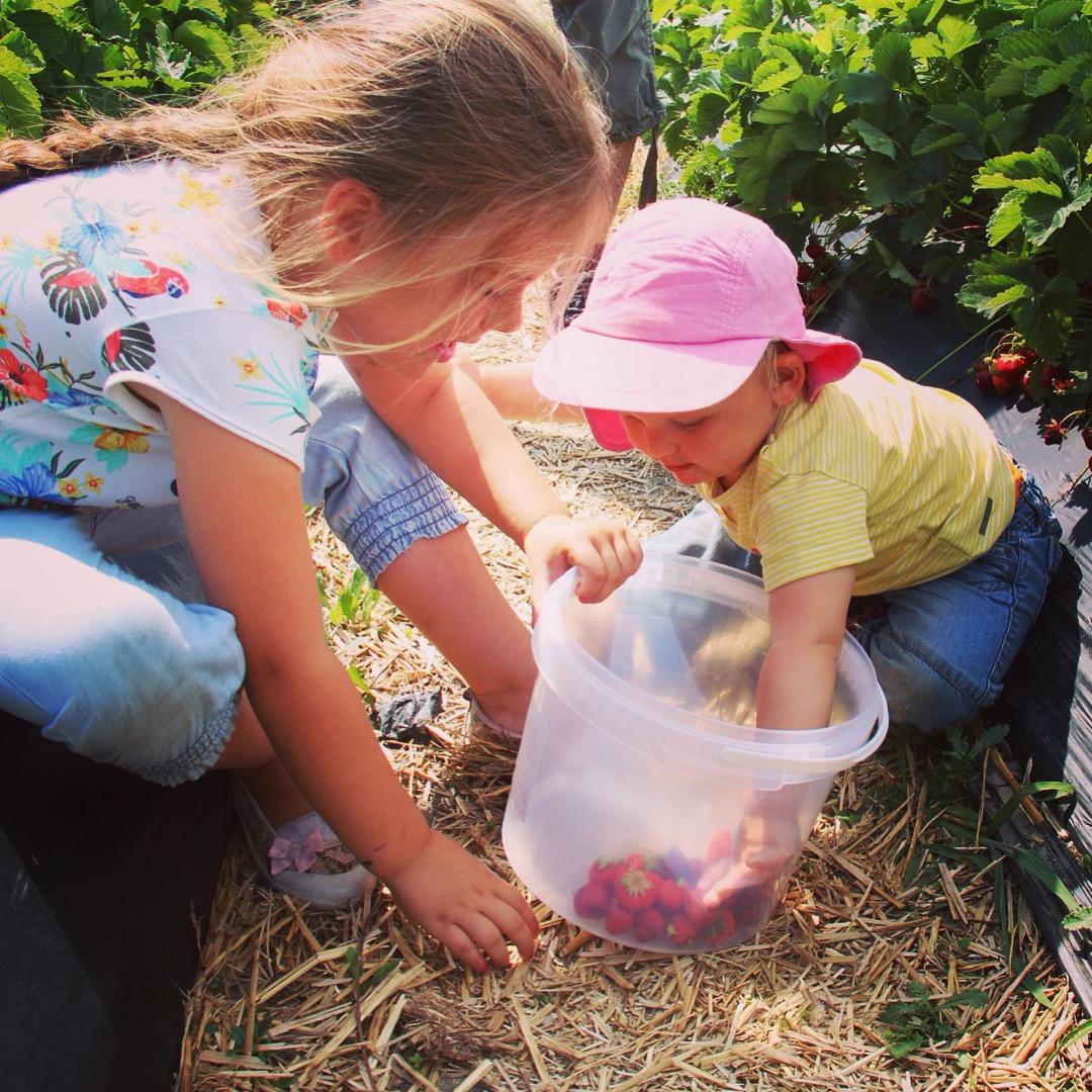 Zaterdag plukten we aardbeien voor de fruitmoes!
