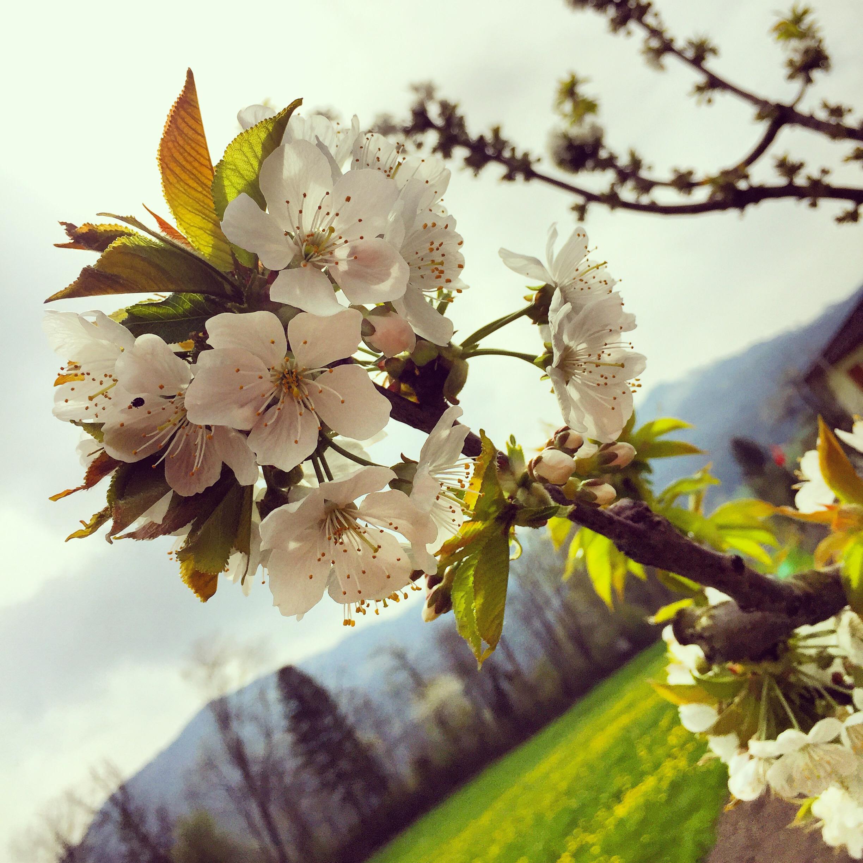 Nog even en alle bomen staan in de bloei!