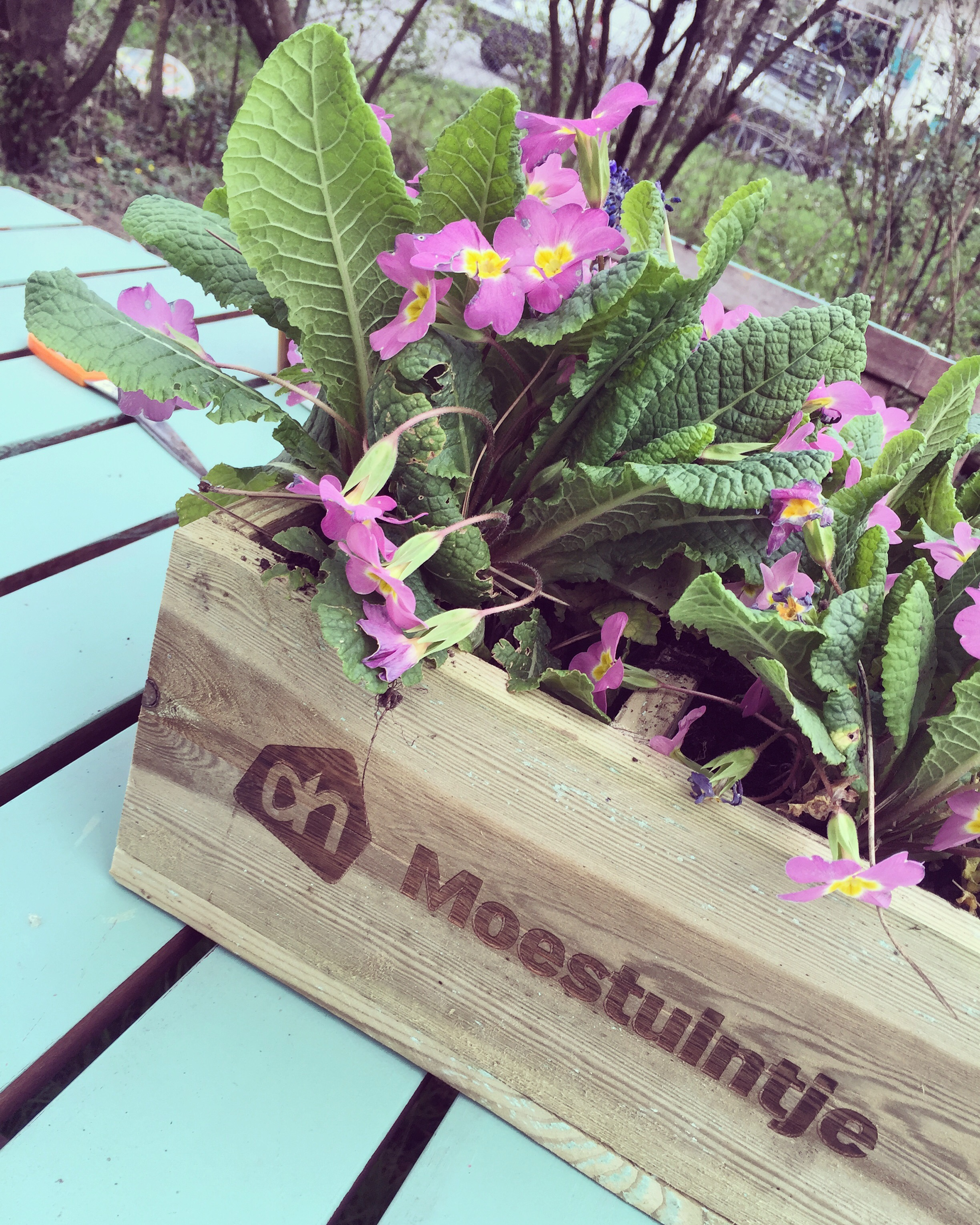 Ik verpotte onze moestuinbakjes en besloot dat in de bak van de AH gewoon bloemen moesten komen. De primula's haalde ik uit de tuin.